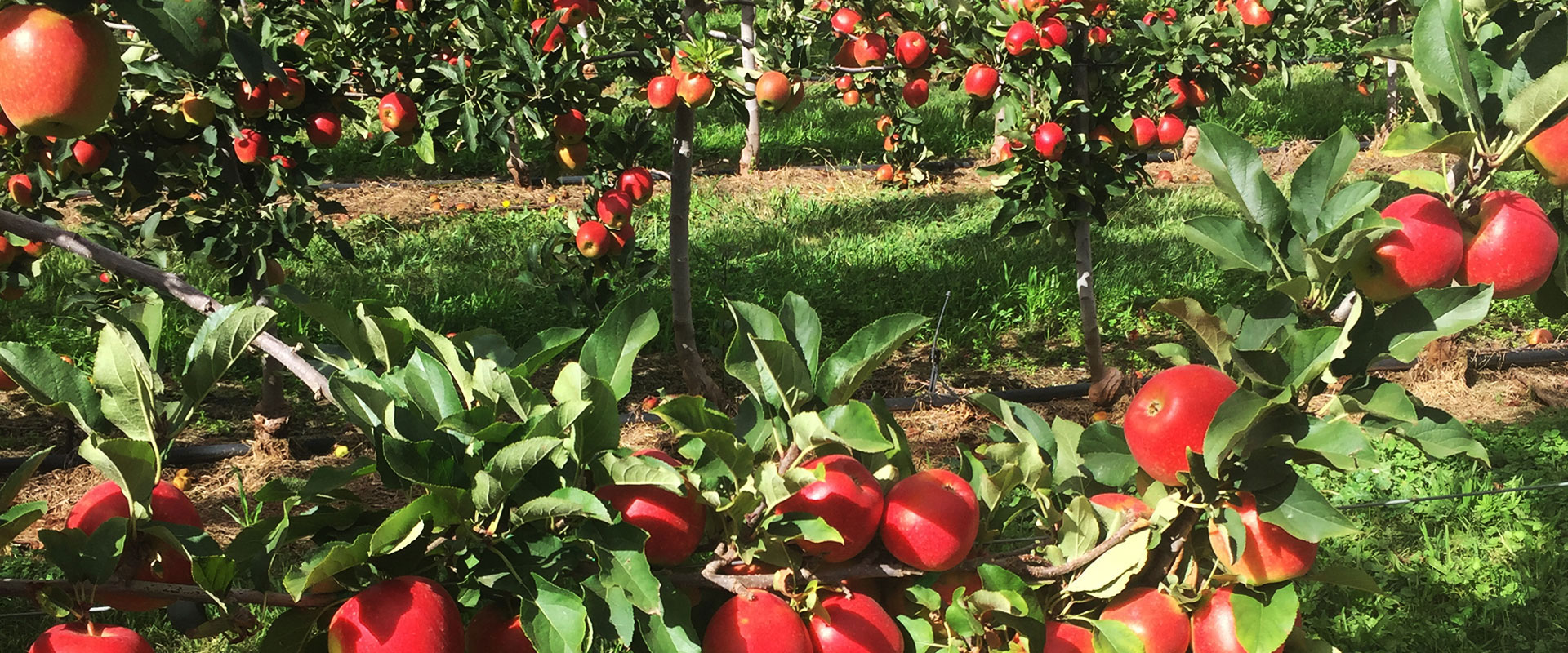 Pick Your Own Apples at TNT PRODUCE